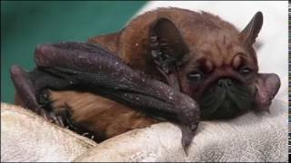 Houston Wildlife Interview:Big Brown Bat