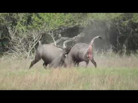 Nilgai Fight (Part 3)