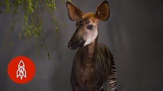 """This """"Forest Giraffe"""" Can Lick It's Own Ears!"""