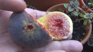 Growing Fig Trees In Containers Reality Check