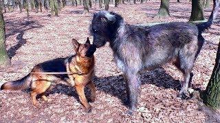 ДАНА И ВОЛКОДАВ. Немецкая овчарка и Ирландский волкодав.
