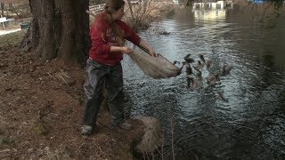 Stocking trout in Canterbury for CT fishing season