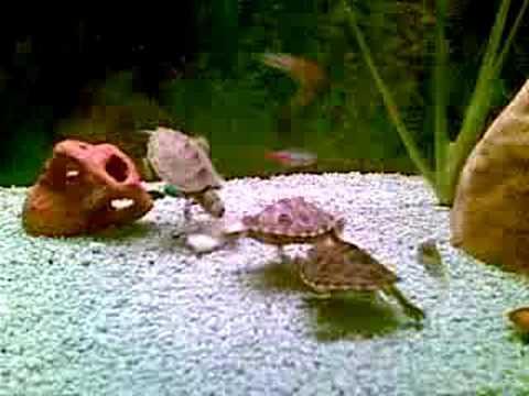 Piccolo guscio di tartaruga come reazione a parassiti