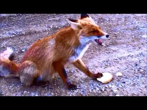 Лиса уплетает хлеб. Вышла из леса и попросила есть. Крым, Солнечная Долина