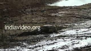 Crocodile in Ranthambore National Park, Rajasthan
