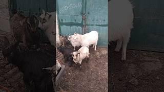 Наши первые козы