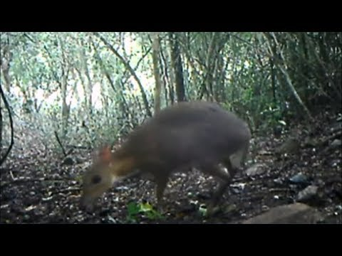 Mouse Deer found after 3 decades (Vietnam) - ITV News - 12th November 2019