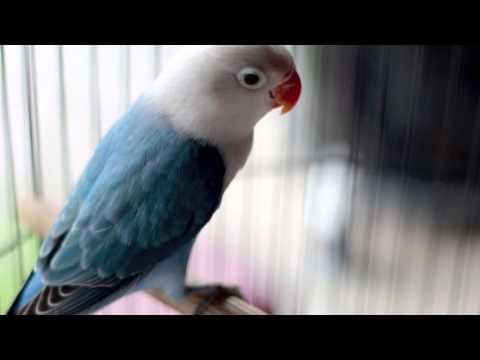 mp4 Lovebird Biola Indonesia, download Lovebird Biola Indonesia video klip Lovebird Biola Indonesia