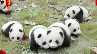 パンダ赤ちゃんをたくさん集めて一体何をするの?❤Collectlotsofpandababies