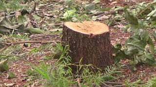 Corte e poda irregular de árvores pode resultar em crime ambiental