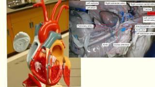 fetal pig anatomy: circulatory system