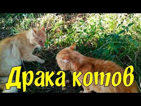 Драка котов