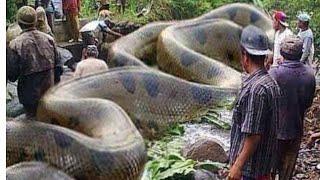 Змея глотает человека