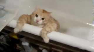 Fat Cat Tries To Escape Bath