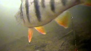 Видео курс : Ловля окуня зимой.   Взгляд из подо льда. Очень полезно для рыбаков любителей