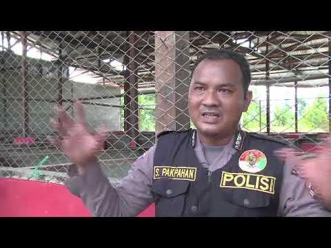 Satgas Binmas Noken Polri Berdayakan Masyarakat Papua Melalui Peternakan Babi