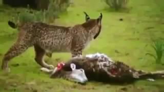 Endangered Iberian Lynx Cat Of Spain ★ Wildlife Documentaries HD