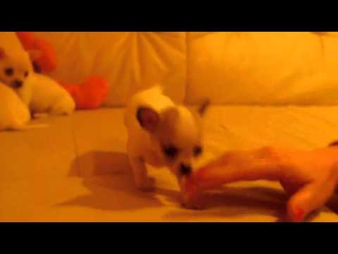 Chihuahua Puppy For Sale : Black-Treasure Dogs Heli