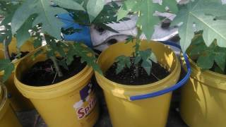 Growing Papaya Tree In Container
