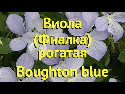 Виола рогатая Боугхон блю. Краткий обзор, описание характеристик viola pubescens Boughton blue