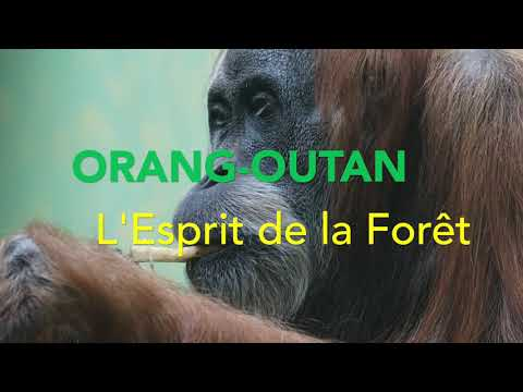 Orang-Outan, l'Esprit de la Forêt