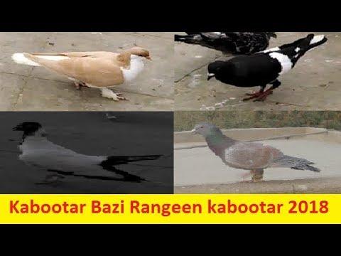 Gole Shirazi Pigeons Kabootar Bazi My Gole Pigeons