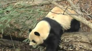 Five More Years For Giant Pandas In US Zoo