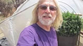 Grow Marijuana: Light Dep Cannabis Hoop House with Golden Arm