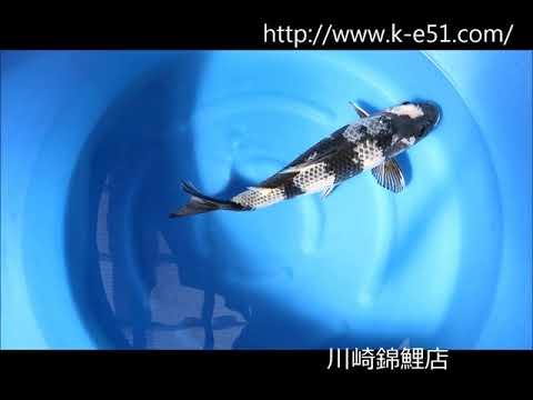 錦鯉販売 川崎錦鯉店の錦鯉 K0286 影白写り