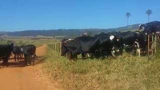 Bovino Leite - e-rural Imagens