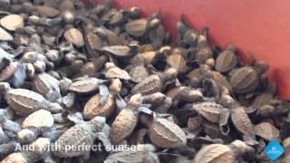 Baby Sea Turtle Release Puerto Vallarta