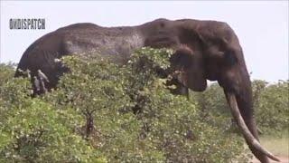 Lions Fail Hunting Baby Elephant And Buffalo