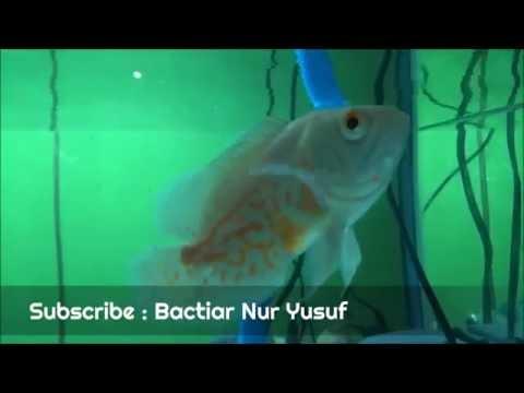 Video Mengenal Ikan Oscar Albino, Jenis Ikan Hias Air Tawar Predator