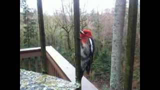 Red-breasted sapsucker sounding off