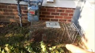 Opossum in Crawl Space