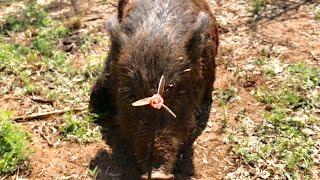 AMAZING HEAD SHOT: Texas Hog Bowhunt