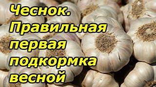 Чеснок-правильная весенняя подкормка озимого чеснока.
