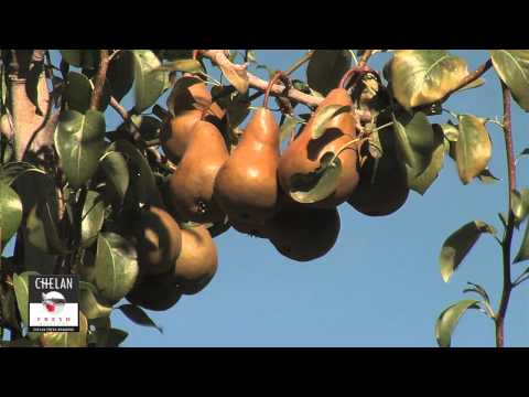 Video What are Bosc Pears