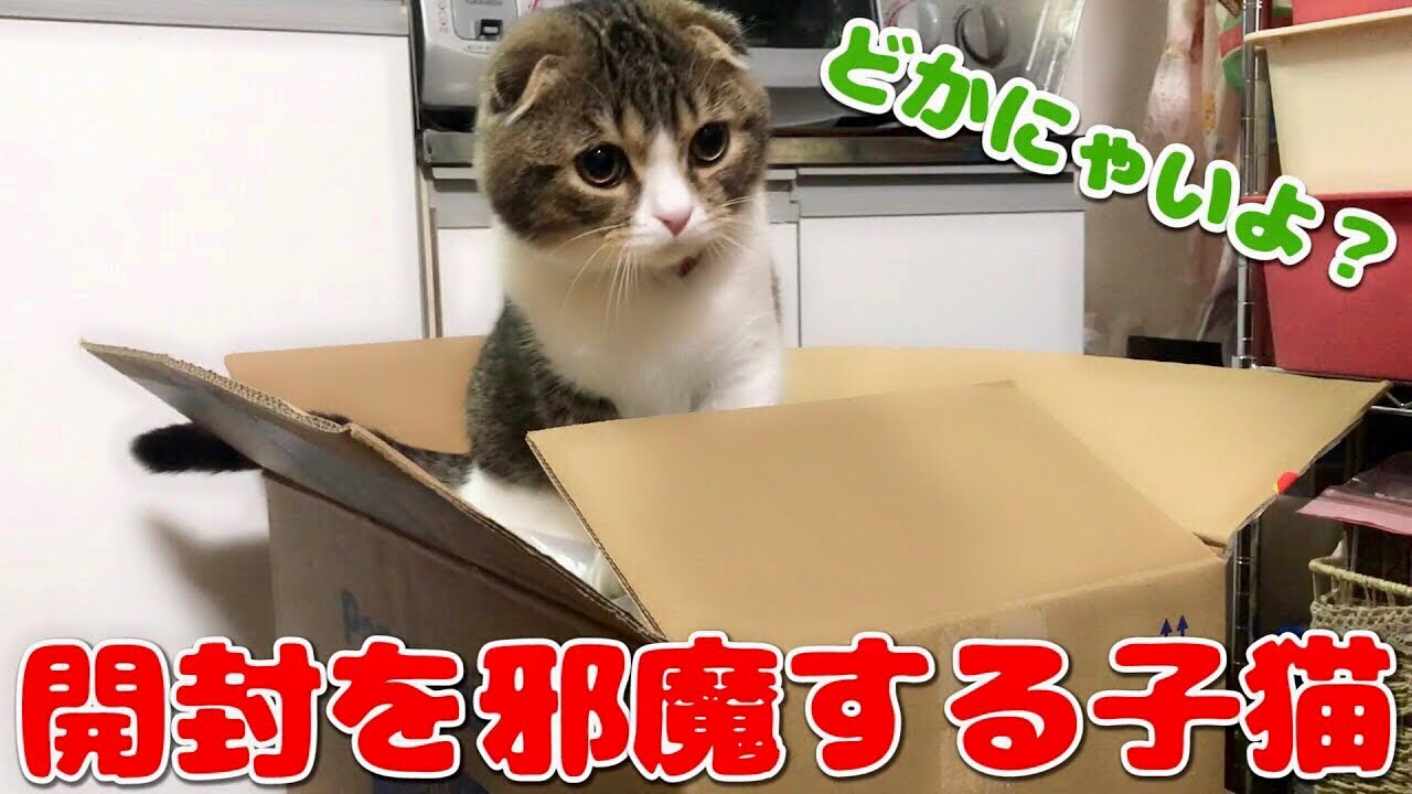 加湿器を買ってもらった子猫【スコティッシュフォールド】【Scottish Fold】