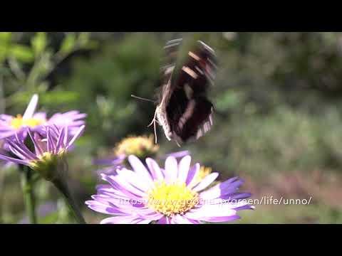 庭のサカハチチョウの飛翔