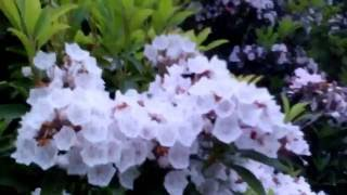 Mountain Laurel Blooming in CT