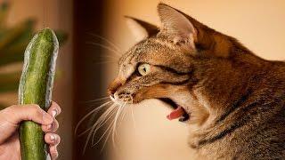 Katter Rädda För Gurkor - Katter Vs Gurkor - Roliga Katter 2016