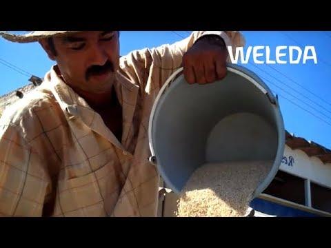 Nachhaltiger Anbau mit Weleda: Sesamöl - Ein Schatz für die Haut