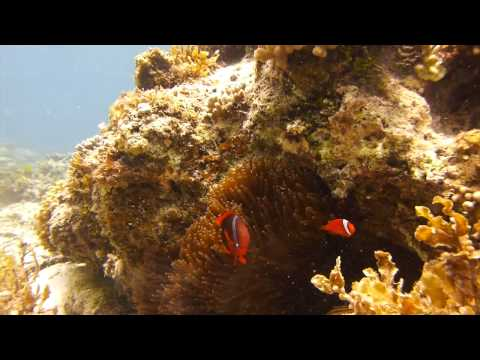 Tomato clownfish en Filipinas