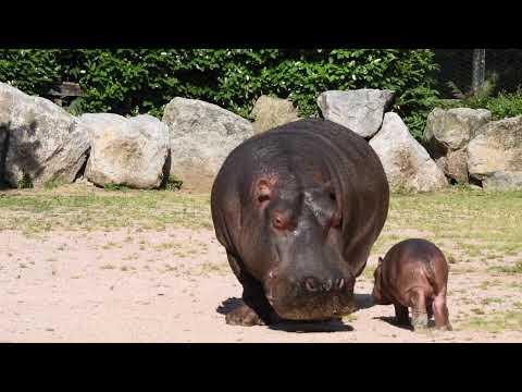 Il piccolo ippopotamo del parco delle Cornelie