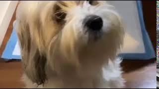 Lowchen Puppies Videos
