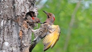 Northern Yellow-shafted Flicker Colaptes Auratus Auratus: Chicks Feed, Fly from Nest