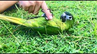 Free Flight Parrot Day 8 15_17