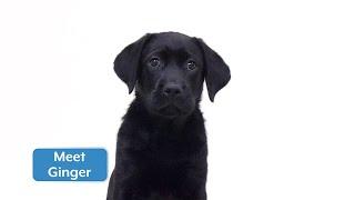Sponsor a Puppy - Ginger
