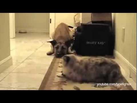 חתולים מפחידים כלבים - מצחיק!